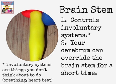 Brain stem playdough brain model