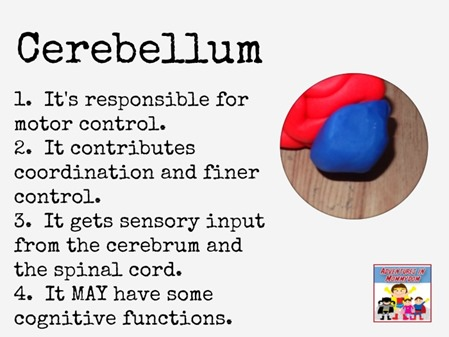 Cerebellum playdough brain model