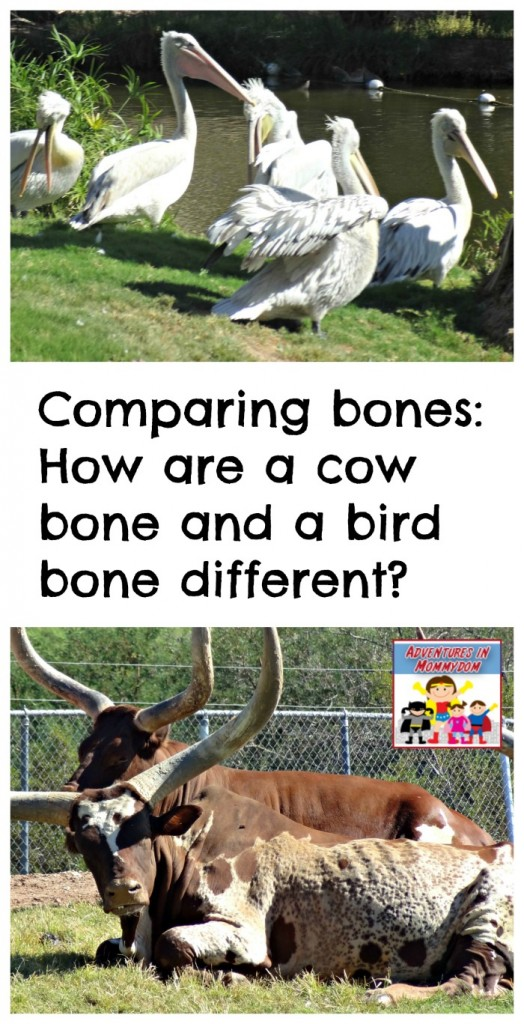 Comparing bones bird versus cow