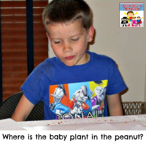 Where is the baby plant in the peanut
