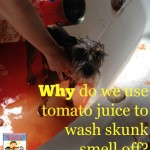 Why does tomato juice get rid of skunk smell?