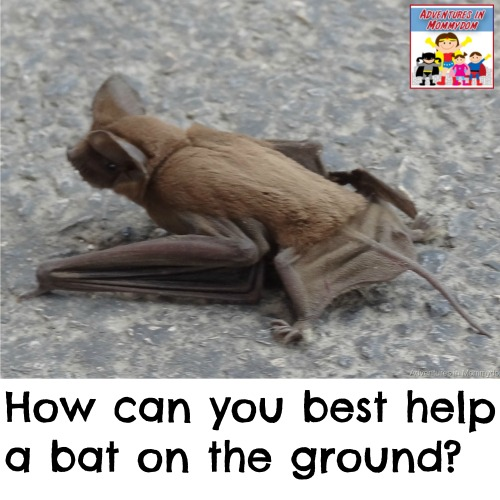 how can you help a bat on the ground