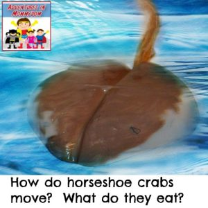 how do horseshoe crabs move