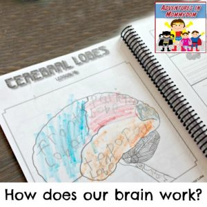 how does our brain work for elementary