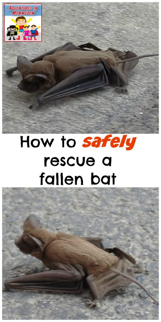 how to safely rescue a fallen bat