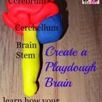 How to make a playdough brain model