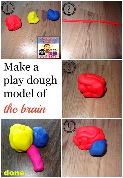playdough model of the brain