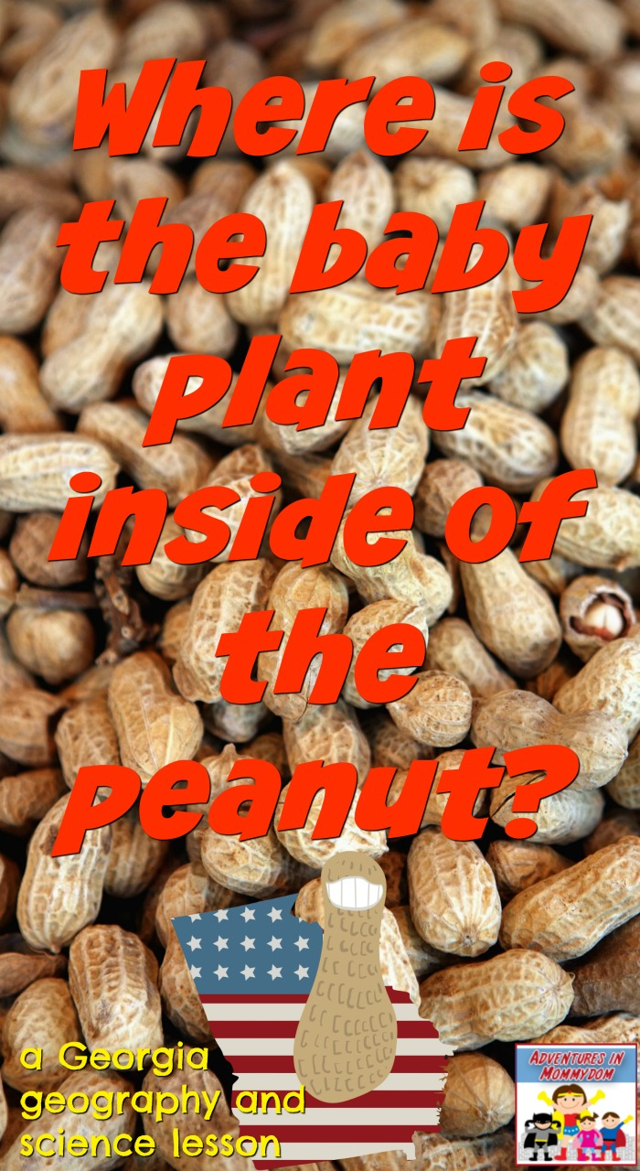 where is the baby plant inside of the peanut